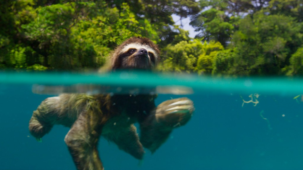 Sloths are adept swimmers, as this pygmy three-toed sloth demonstrates. Found only on the tiny island of Escudo de Veraguas, Panama, the pygmy sloth is the smallest of all sloth species and is considered endangered.